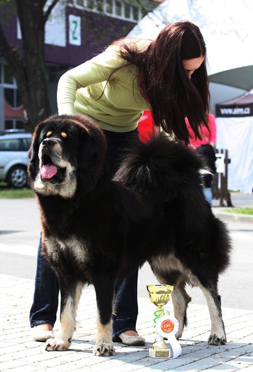 Tibetan Mastiff Kennel And Breeder Gangpori
